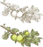 Ramo de árvore de Apple ilustração do vetor