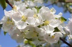 Ramo de árvore de Apple com flores Fotografia de Stock