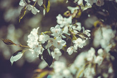 Ramo de árvore de florescência branco da maçã no jardim da mola Foto de Stock Royalty Free
