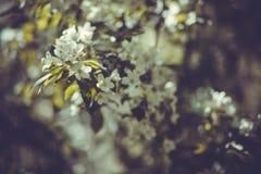 Ramo de árvore de florescência branco da maçã no jardim da mola Foto de Stock
