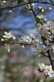 Ramo de árvore de florescência Mola estações Imagens de Stock