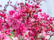Ramo de árvore decorativo selvagem da maçã na flor completa fotografia de stock royalty free
