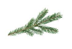 Ramo de árvore do abeto Fotografia de Stock