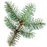 Ramo de árvore do abeto fotos de stock royalty free