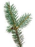 Ramo de árvore do abeto fotos de stock