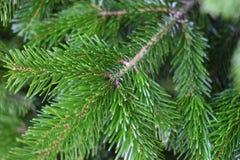 Ramo de árvore do abeto alguns dias antes do Natal Imagens de Stock