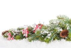Ramo de árvore do abeto do Natal com baga do azevinho Imagem de Stock