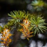 Ramo de árvore do abeto de Douglas com os cones no outono closeup Foto de Stock Royalty Free