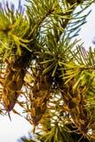 Ramo de árvore do abeto de Douglas com os cones no outono closeup Imagens de Stock