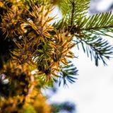 Ramo de árvore do abeto de Douglas com os cones no outono closeup Fotos de Stock