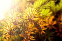 Ramo de árvore do abeto de Douglas com os cones no outono closeup Imagem de Stock