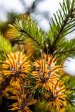 Ramo de árvore do abeto de Douglas com os cones no outono closeup Foto de Stock