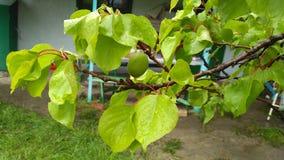 Ramo de árvore do abricó Fotografia de Stock