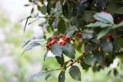 Ramo de árvore do azevinho Foto de Stock