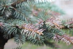Ramo de árvore do Natal do verde Imagens de Stock