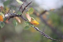 Ramo de árvore do olmo e detalhe voados das folhas Fotografia de Stock Royalty Free