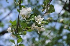 Ramo de árvore de florescência da maçã no dia ensolarado foto de stock