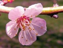 Ramo de árvore de florescência do abricó contra o céu azul Fotos de Stock