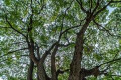 Ramo de árvore grande Fotografia de Stock