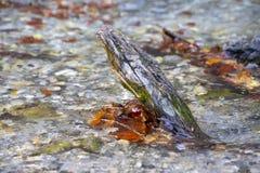 Ramo de árvore interrompido coberto com o musgo na água de um córrego com as folhas secas do outono marrom próximo foto de stock
