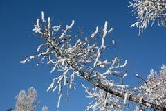 ramo de árvore na neve Imagens de Stock