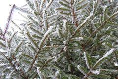 Ramo de árvore nevado no inverno, Lituânia do abeto Imagens de Stock Royalty Free