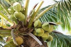 ramo de árvore novo velho e verde do coco Imagens de Stock Royalty Free