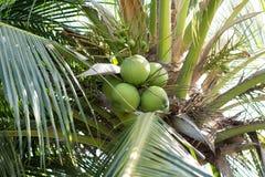 Ramo de árvore novo verde do coco Imagem de Stock