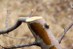 Ramo de árvore podado da maçã, DOF raso foto de stock