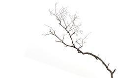 Ramo de árvore sem folha isolada no branco imagem de stock