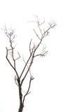 Ramo de árvore sem folha isolada no branco Imagens de Stock