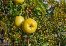 Ramo de Apple com variedade Antonovka das maçãs Variedade tardia do inverno Pomar do outono foto de stock