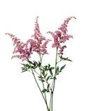 Ramo de Astilbe rosado Imagen de archivo libre de regalías