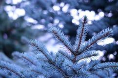Ramo de bonito spruce azul Imagens de Stock