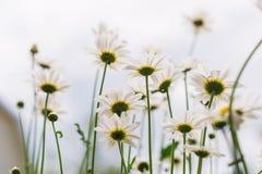 Ramo de camomiles en la luz del sol Fotos de archivo libres de regalías