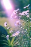 Ramo de camomiles en la luz del sol Fondo lindo natural Fotografía de archivo