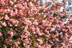 Ramo de Cherry Blossom Fotos de Stock