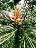 Ramo de cones novos e tiros de uma árvore de Natal Floresta conífera e um cheiro conífero surpreendente fotografia de stock royalty free