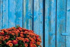 Ramo de crisantemos enormes en un contexto Foto de archivo