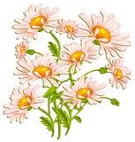 Ramo de daisys del ojo de buey en blanco Fotografía de archivo libre de regalías
