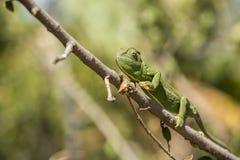 Ramo de escalada do camaleão na árvore Foto de Stock Royalty Free
