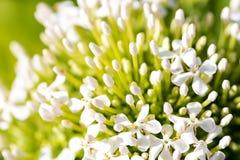 Ramo de flor blanca de Ixora Foto de archivo libre de regalías