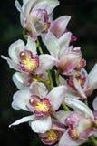 Ramo de flores blancas de la orqu?dea del Dendrobium fotografía de archivo libre de regalías