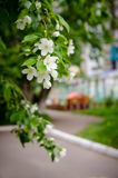 Ramo de flores da maçã com um alojamento do ` s das crianças no fundo Imagem de Stock