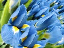 Ramo de flores de la turquesa Primer de los iris amarillos de la turquesa del jardín Fondo floral Fotografía de archivo