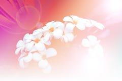 Ramo de flores del plumeria en el jardín Tono del vintage del estilo Fotos de archivo