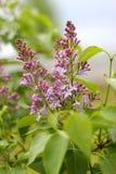 Ramo de flores lilás Foto de Stock Royalty Free