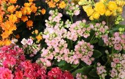 Ramo de flores minúsculas de la planta del kalanchoe fotos de archivo libres de regalías