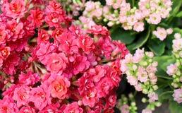 Ramo de flores minúsculas de la planta del kalanchoe imagenes de archivo