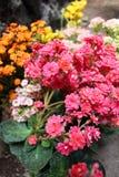 Ramo de flores minúsculas de la planta del kalanchoe imagen de archivo